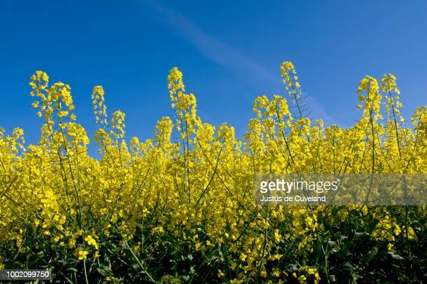 Rape (Brassica napus), flowering rape plants in a field of rape, Herzogtum Lauenburg, Schleswig-Holstein, Germany