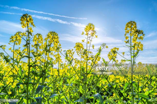Rape flowers in full bloom under a spring sun.