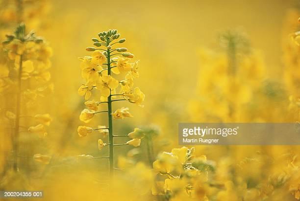 rape flowers (brassica napus), spring - brassica napus l - fotografias e filmes do acervo