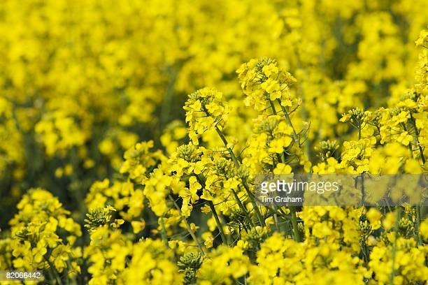 Rape seed crop field grown for biofuel in The Cotswolds England United Kingdom