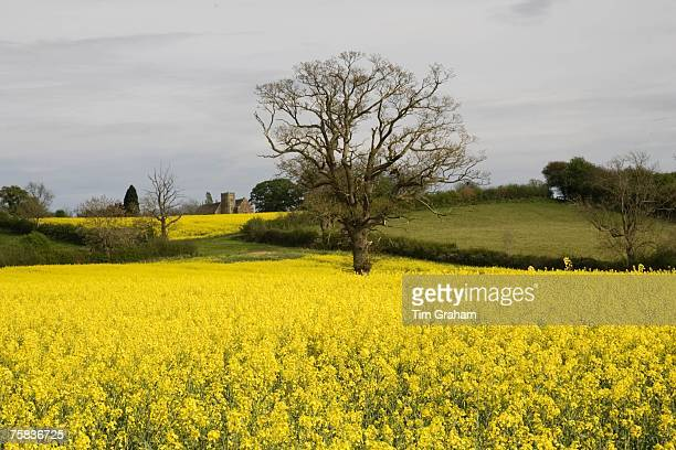 Rape seed crop field in Wyck Rissington and St Peter's Church Little Rissington The Cotswolds Gloucestershire England