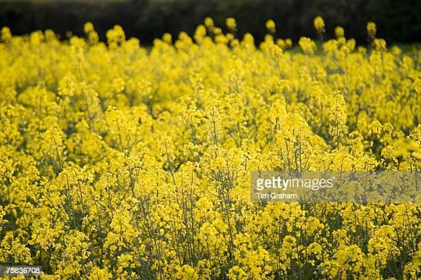 Rape seed crop field Wyck Rissington The Cotswolds England Gloucestershire United Kingdom