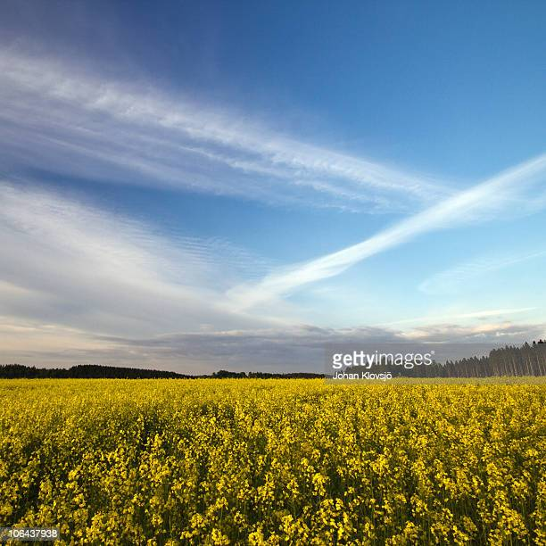 Rape seed field and blue sky with streaking clouds