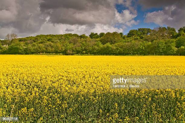 rapefield - bavosi stock photos and pictures