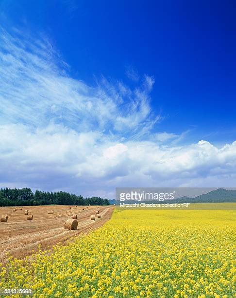 Rapeseed and haystack fields