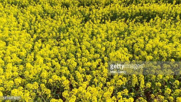 Rapeseed blooms in a field close to the town of Somerton, on May 2, 2021 in Somerset, England. The vibrant yellow blossom of rapeseed, or oilseed...
