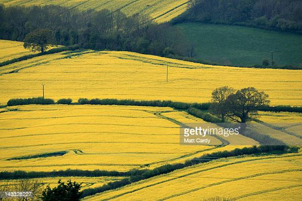 Rapeseed blooms in a field close to the village of Priston on April 24 2012 near Bath England The vibrant yellow blossom of rapeseed or oilseed rape...
