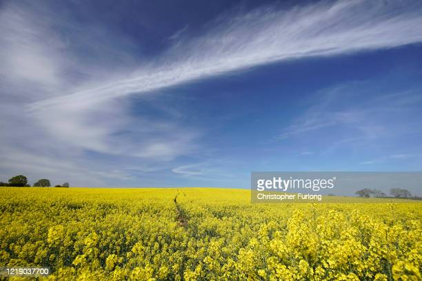 Rapeseed blooms in the Spring sunshine on April 15 2020 in Newport Shropshire Agricultural operations in the UK have been able to continue work amid...