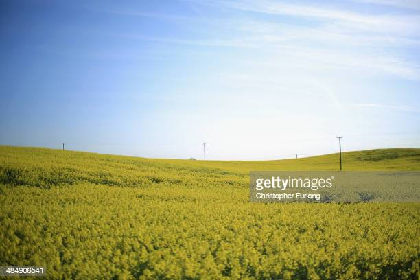 Rapeseed blooms in the sunshine in a field close to the village of Whitegate in Cheshire on April 15 2014 in Whitegate United Kingdom As farmers...