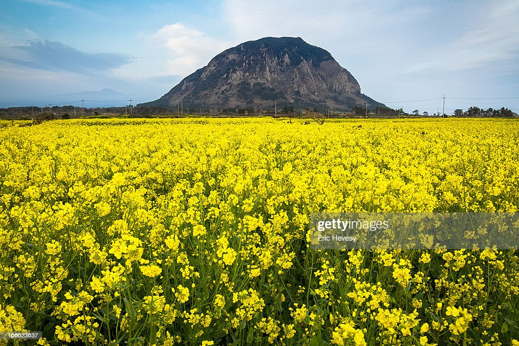Rapeseed Blossoms on Jeju Island : Stock Photo