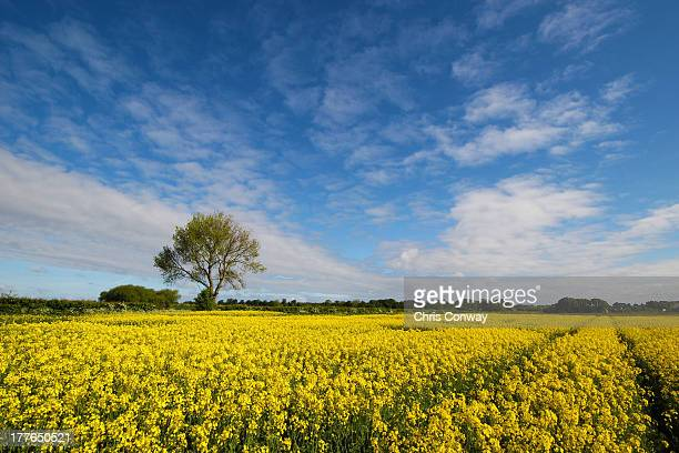 rapeseed crops - merseyside stock pictures, royalty-free photos & images