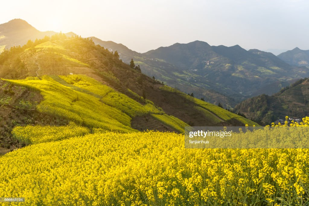 rapeseed field against blue sky : Stock Photo