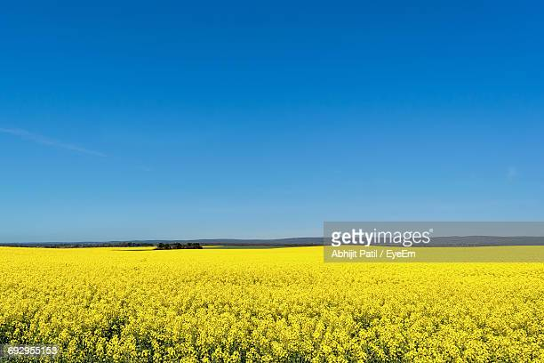 Rapeseed Field Against Blue Sky