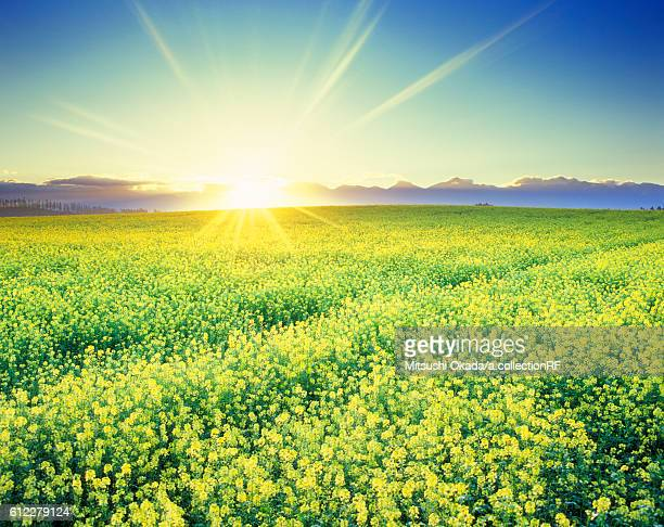 Rapeseed field at sunrise