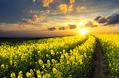 Rapeseed field at sunset