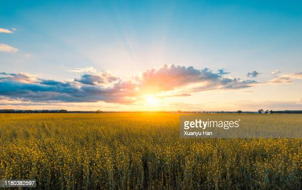 rapeseed field at sunset - zon stockfoto's en -beelden