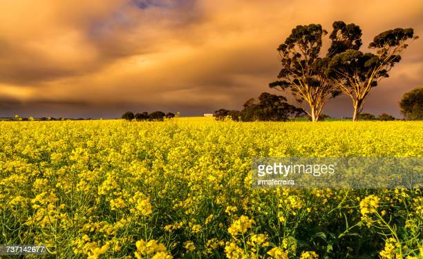 Rapeseed field at sunset, York, Western Australia, Australia