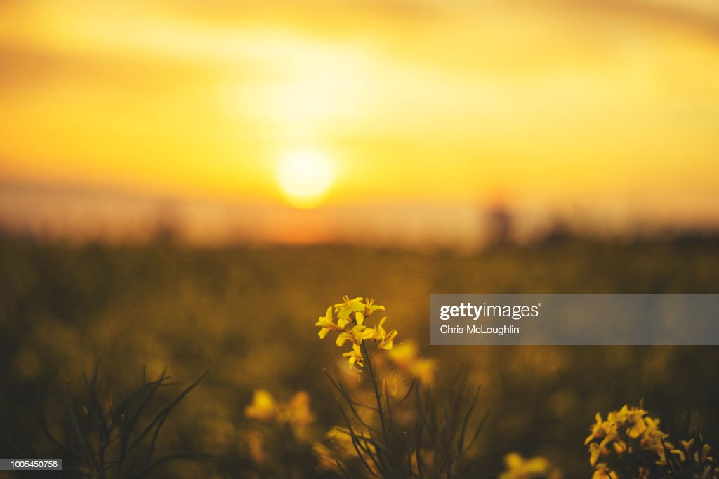 Rapeseed field in bloom near Knottingley area in West Yorkshire : Stock Photo