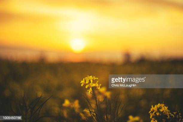 rapeseed field in bloom near knottingley area in west yorkshire - キャノーラ ストックフォトと画像