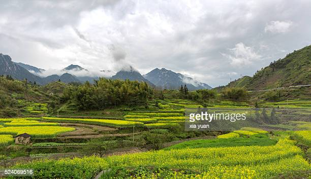 Rapeseed field in mountains on rural area in spring