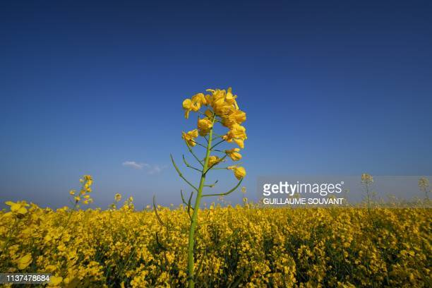 A rapeseed field is pictured on April 12 2019 in Descartes central France