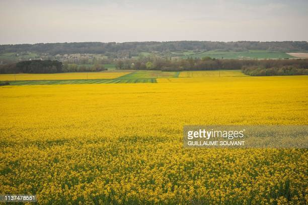 A rapeseed field is pictured on April 15 2019 in Descartes central France