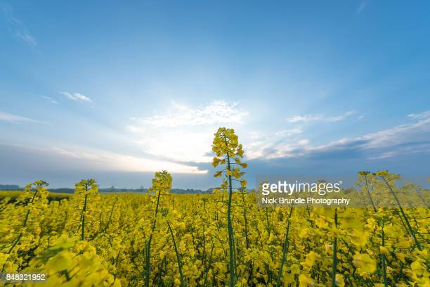 rapeseed field, jutland, denmark - canola oil stock pictures, royalty-free photos & images