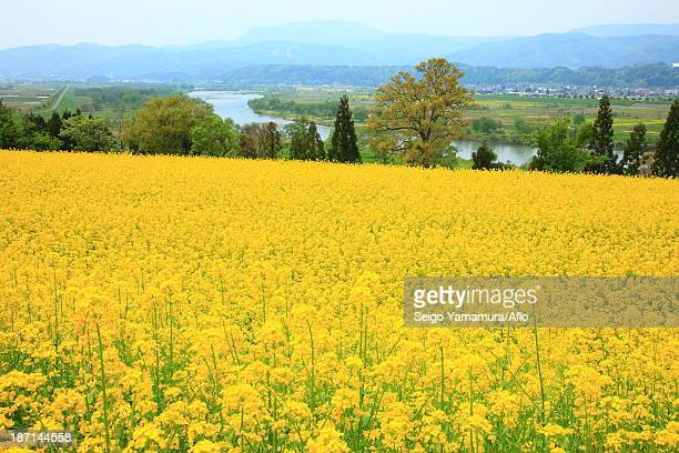 Rapeseed field, Nagano Prefecture