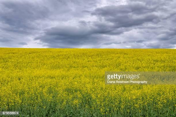 Rapeseed field near Palouse, Eastern Washington State