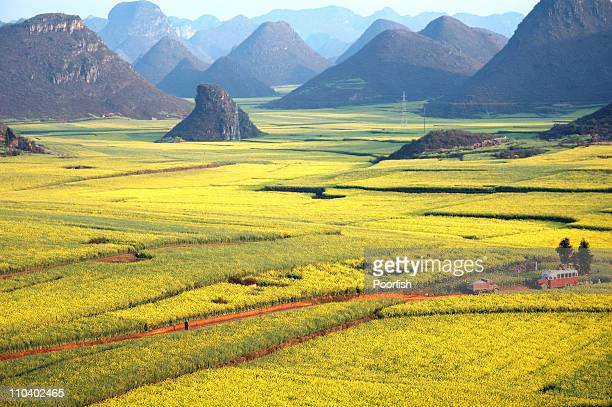 rapeseed field - brassica stock photos and pictures