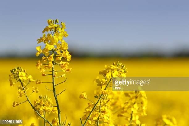 rapeseed field - キャノーラ ストックフォトと画像