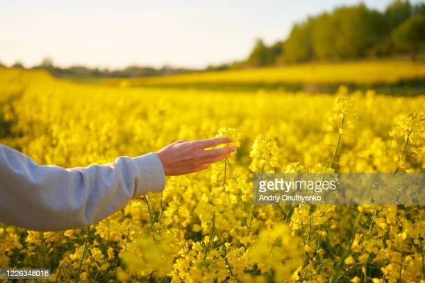 rapeseed field - beauty in nature stock pictures, royalty-free photos & images