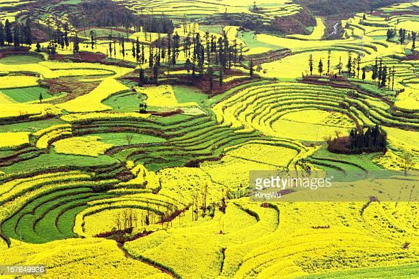 rapeseed field - provinz yunnan stock-fotos und bilder