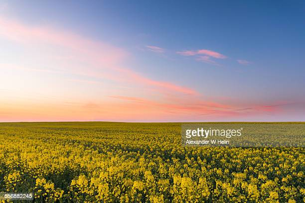 rapeseed field - oilseed rape stock pictures, royalty-free photos & images