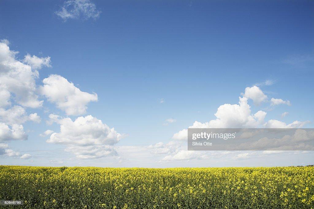 rapeseed field : Stock-Foto