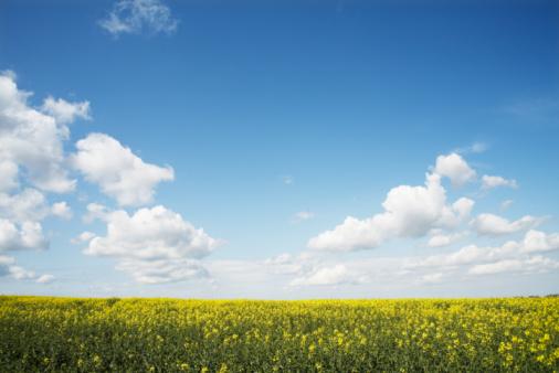 rapeseed field - gettyimageskorea