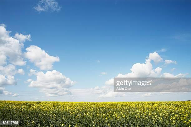 rapeseed field - himmel stock-fotos und bilder