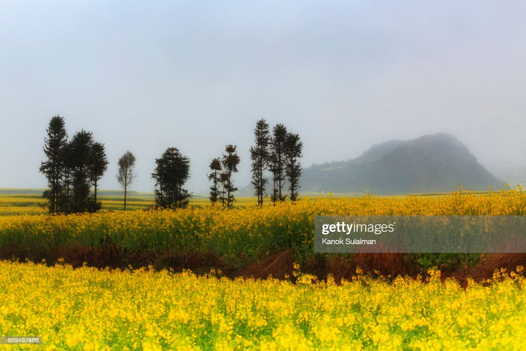 Rapeseed field : Stock-Foto