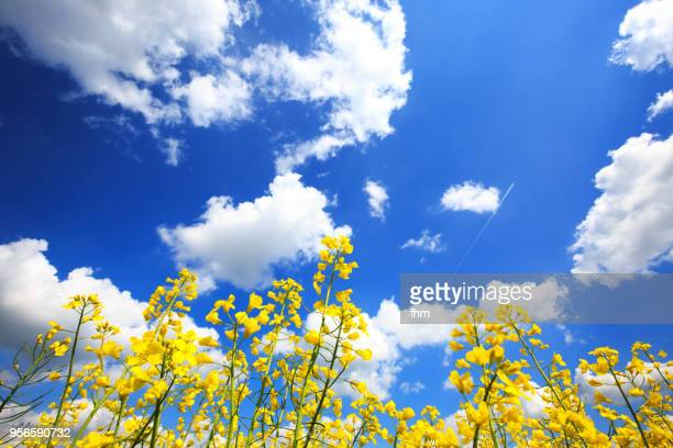 rapeseed field with clouds in the sky - brassica stock photos and pictures