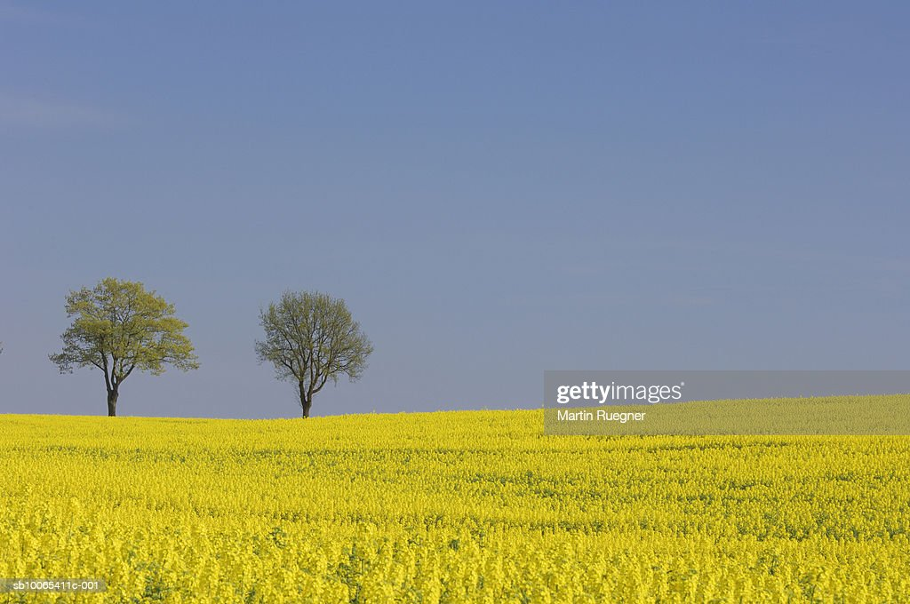 Rapeseed field with two trees on horizon : Foto stock