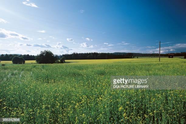Rapeseed fields Dalsland province Gotaland Sweden