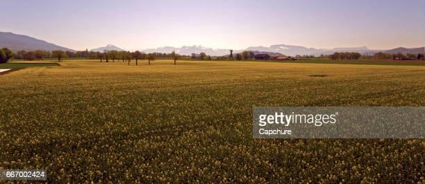 rapeseed fields in spring bloom - clima alpino foto e immagini stock
