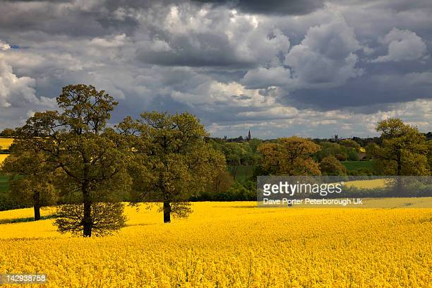 rapeseed fields northamptonshire - northamptonshire stock pictures, royalty-free photos & images