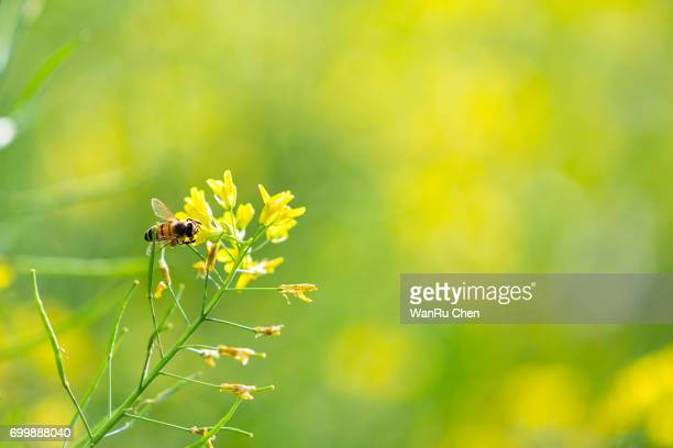 rapeseed flower with bee
