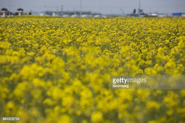 Rapeseed flowers bloom at a field repaired after being damaged by the tsunami following the March 11 2011 earthquake in Natori Miyagi Japan on...