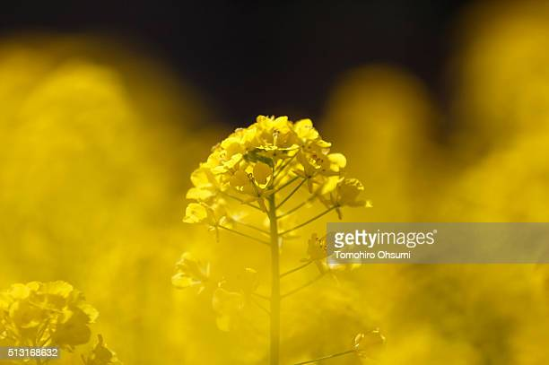 Rapeseed flowers bloom at Hamarikyu Gardens on March 1 2016 in Tokyo Japan About 300000 rapeseed flowers are in full bloom at the park located in the...