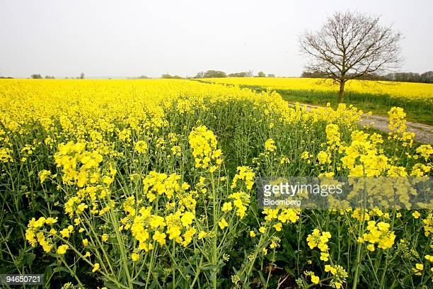 Rapeseed flowers bloom in Essex UK Thursday April 12 2007 Rapeseed or Canola is used in making a variety of products including vegetable oil and...