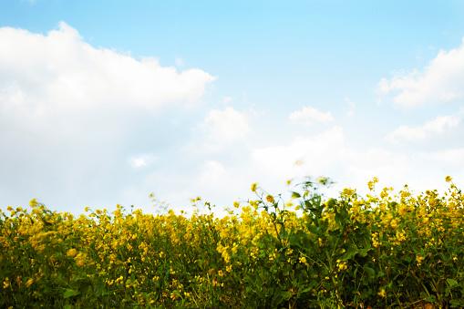 Rapeseed (Brassica napus) flowers, Jeju Island, Jeju Province, South Korea - gettyimageskorea