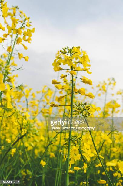 rapeseed flowers - brassica stock photos and pictures