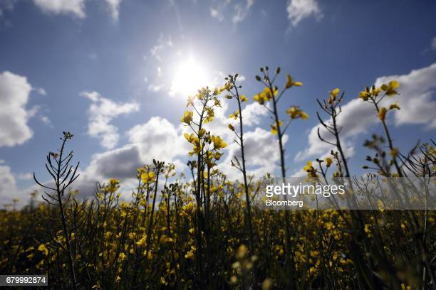 Rapeseed flowers stand on a farmer's field in Finchingfield UK on Friday May 5 2017 The UK government needs to agree a transition deal with the...